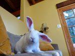 lazy-rabbit