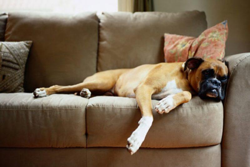 laziest dogs around